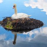 Swan nest chicken