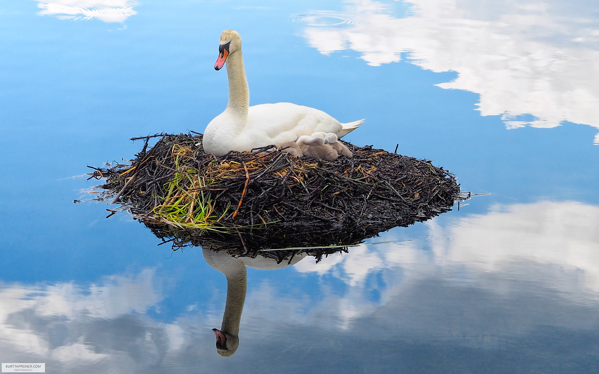 Swan nest chicken