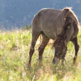 Mongolian horse in morning dew