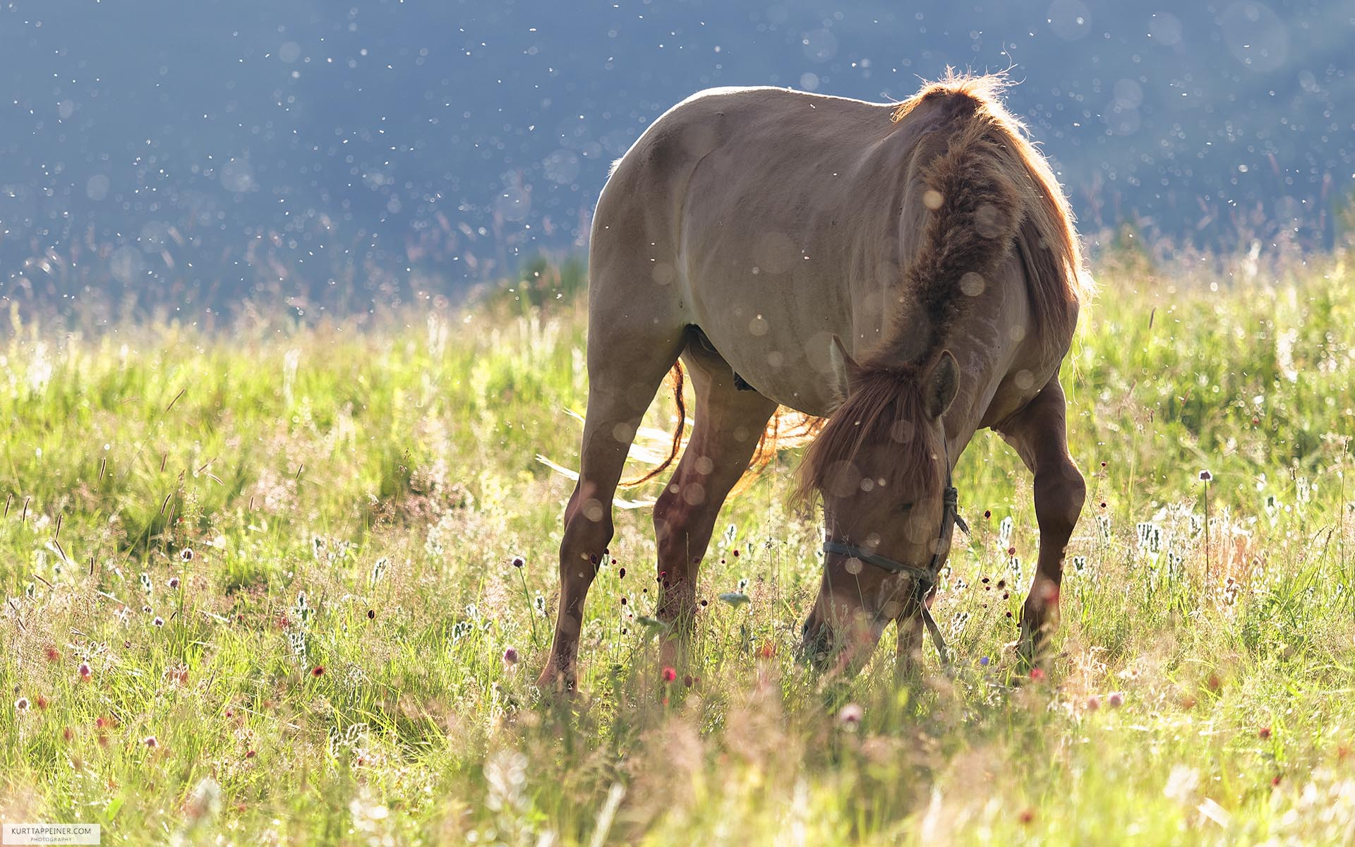Mongolian horse in morning dew
